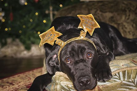 Cute Young Labrador Celebrating New Year's Day